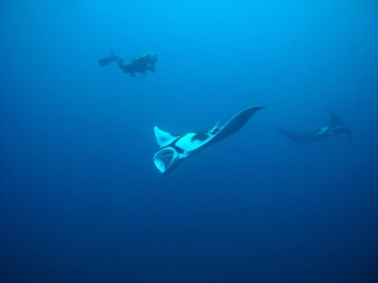 Aqua Vision Scuba Diving : Manta Ray at Hin Daeng