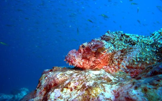 Aqua Vision Scuba Diving : Bearded scorpion fish