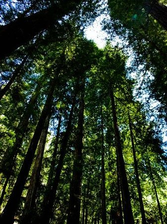 Armstrong Redwood State Reserve: Armstrong Redwood Forest looking up