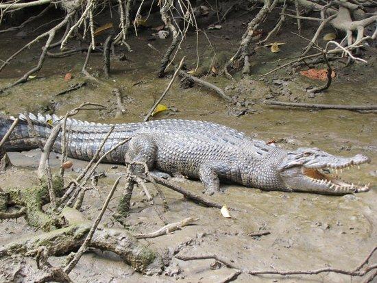 Daintree National Park: croc
