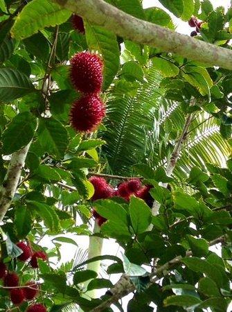 The Old Hawaiian B&B: rambuton or lychee?