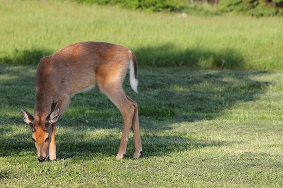 Lighthouse Bed & Breakfast: Friendly Deer Visitor