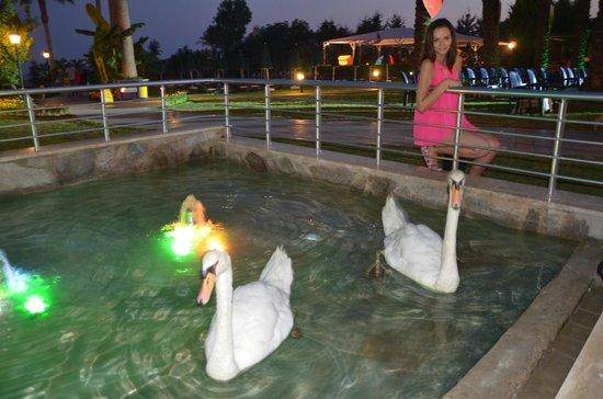 Alva Donna Beach Resort Comfort: лебеди