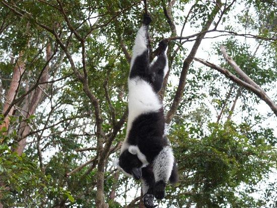Vakona Forest Lodge : Reserva Vakona,lemur