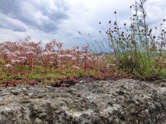 Schloss Marksburg: Lots of flowers growing on the castle walls