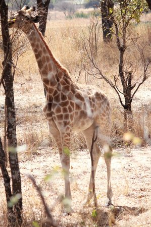 Mukuvisi Woodlands: 間近に行ってもこちらも馬=動物なのであまりにげない