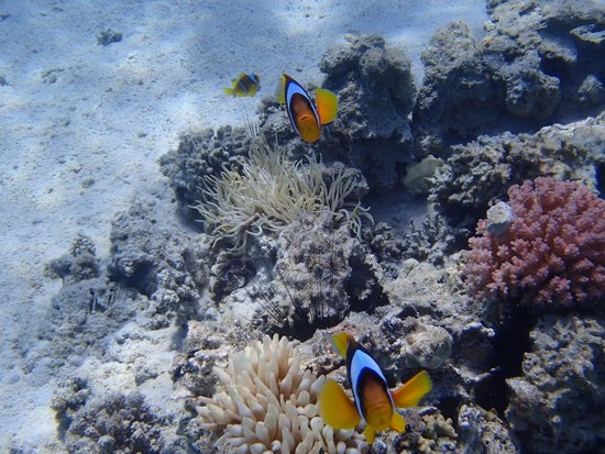 Iberotel Palace: clown fish coral beach