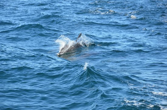 Whales in Paradise - Gold Coast Whale Watching Pty Ltd: Pursued by a playful dolphin
