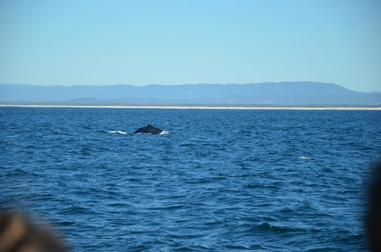 Whales in Paradise - Gold Coast Whale Watching Pty Ltd: The Hump back