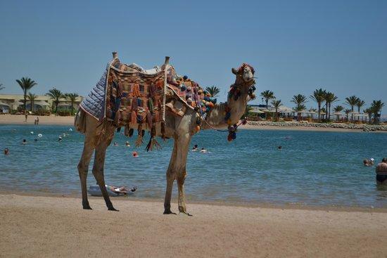 Desert Rose Resort : верблюд Вася