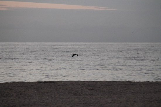 Hutchinson Island Plaza Hotel and Suites: Dolphin off beach near hotel