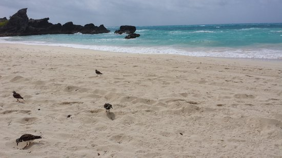 The Reefs : Hotel beach with friendly Sandpipers