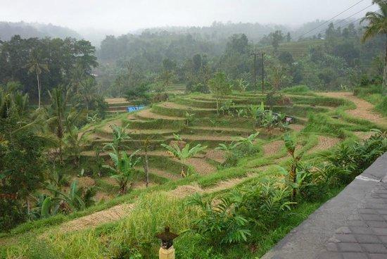 Jatiluwih Green Land : Jatiluwih rice terrace