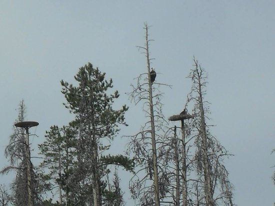 Adventure Paddle Tours: View of eagles in nest with babies