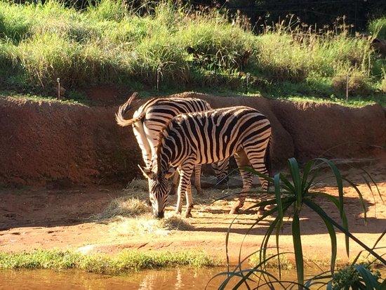 Perth Zoo: Zebras