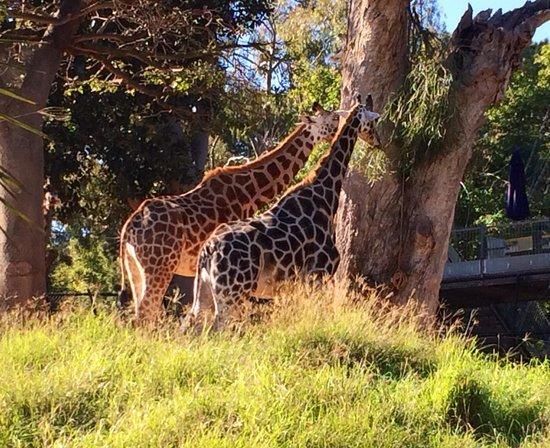 Perth Zoo: Giraffes having a feed