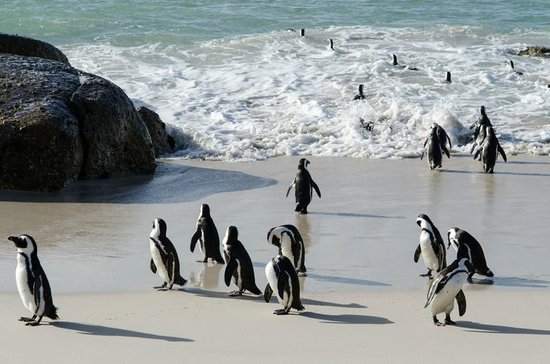 Cycle the Cape - Day Tour: penguins at Boulders