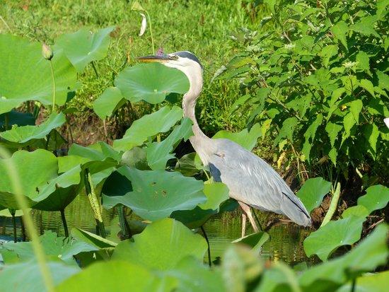 Kenilworth Park and Aquatic Gardens: Great Blue Heron
