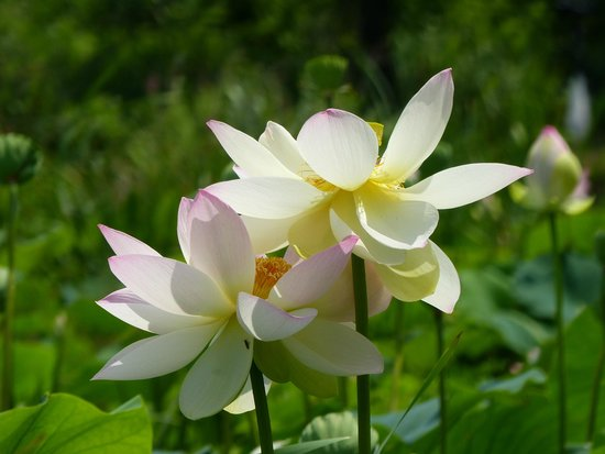 Kenilworth Park and Aquatic Gardens: Lotus come in different hues