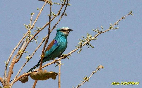 Niokolo-Koba National Park Rollier à ventre bleu