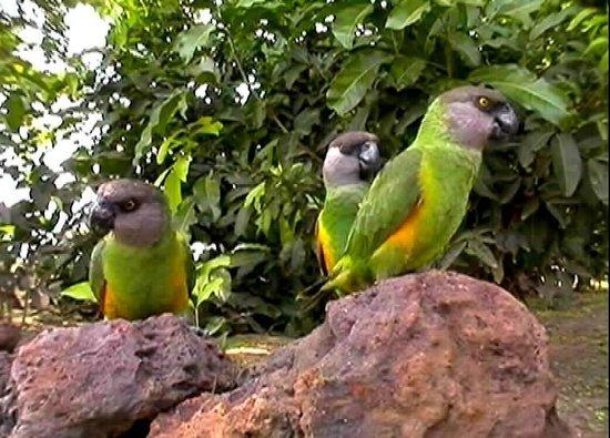 Niokolo-Koba National Park Youyous du Sénégal