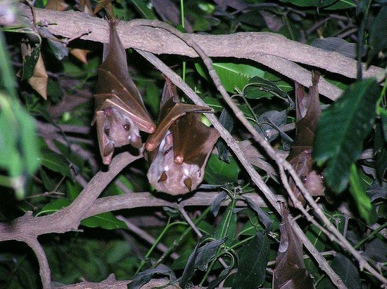 Niokolo-Koba National Park Petite Chauve Souris