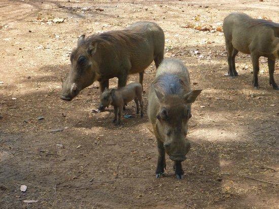Niokolo-Koba National Park Famille phacochères