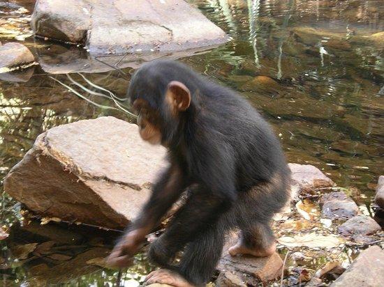 Niokolo-Koba National Park Chimpanzé à la frontière Guinée
