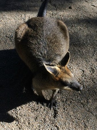 Featherdale Wildlife Park: wallaby