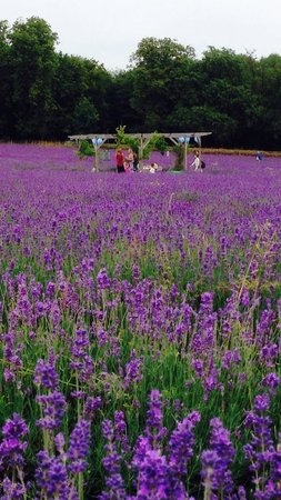 Mayfield Lavender Farm : A gazebo with a party