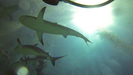 Stuart Cove's Dive Bahamas: Shark adventure