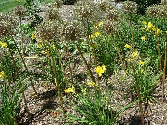 Lilacia Park: Allium's