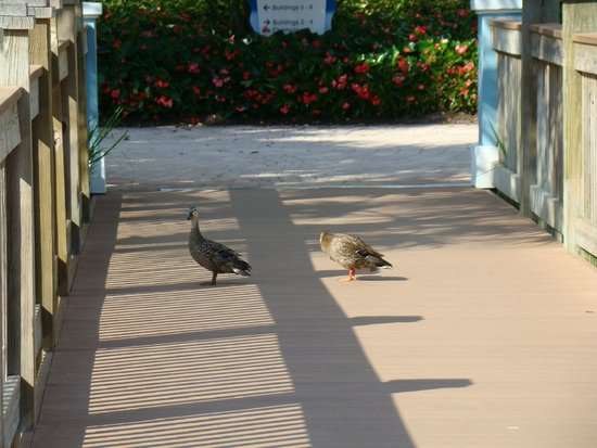 Bluegreen Fountains Resort: Ducks on property durning our walk to the pool
