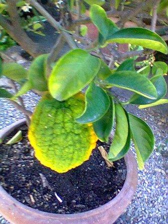 Casa Masi: limoni e cedri...senza parole