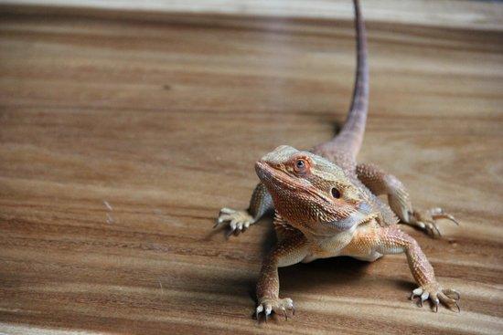 Reptile House De Aarde: Baardleguaan aaien.