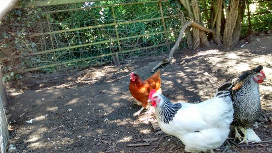 Farthingales: Well-tended chickens in the garden