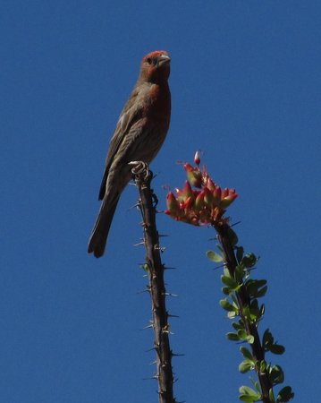 GreenTree Inn Sedona: Ocotillo in bloom with Finch visitor