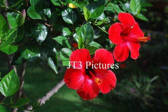 Giardini di Augusto: Red Hibiscus