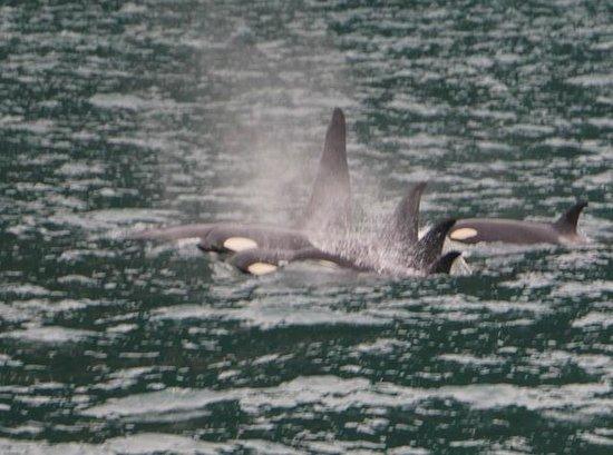 Kenai Fjords Tours : Killer whales spotted during the National Park tour.