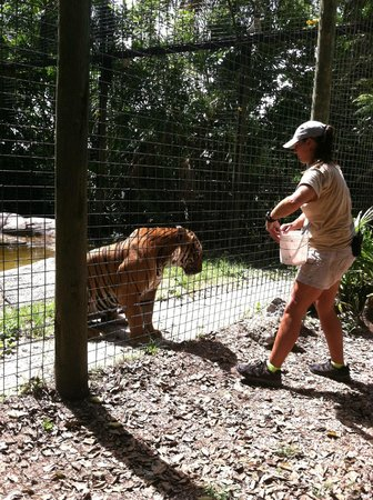 Naples Zoo at Caribbean Gardens: Feeding time for the tigers