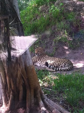 Naples Zoo at Caribbean Gardens: Cheetah cooling in the shade