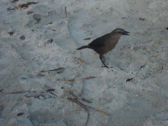 Anse Figuier: Птица