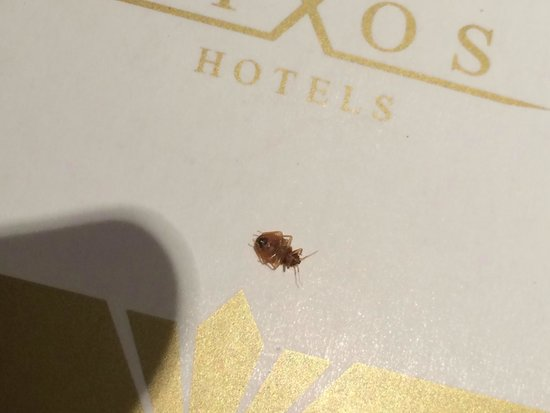 Rixos Bab Al Bahr: BED BUG IN FIVE STAR HOTEL