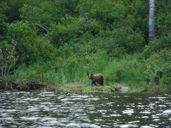 Riding Mountain National Park : Brown Bear