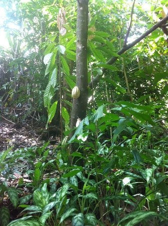 Carambola Botanical Gardens & Trails : Cacao tree with fruit