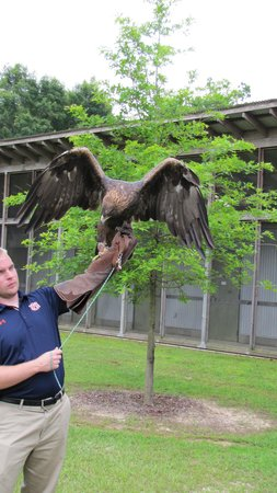 Southeastern Raptor Center: golden eagle, Nova (War Eagle VII)