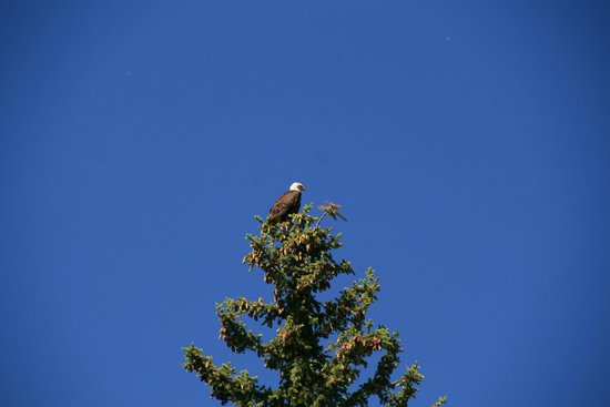 Solitude Float Trips: One of the many bald eagles sighted