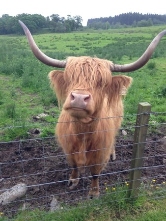 The Hairy Coo - Free Scottish Highlands Tour : Oh hey