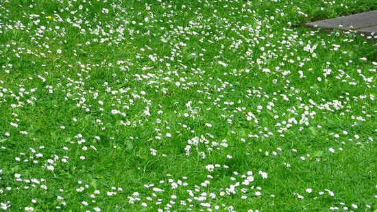 Parque St Stephen's Green: Meadow with daisies