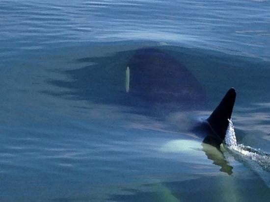 Steveston Seabreeze Adventures & Whale Watching: orca underwater near our boat